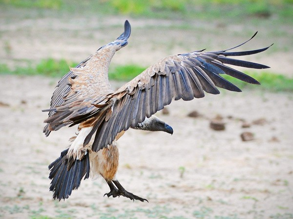 Chobe River vulture