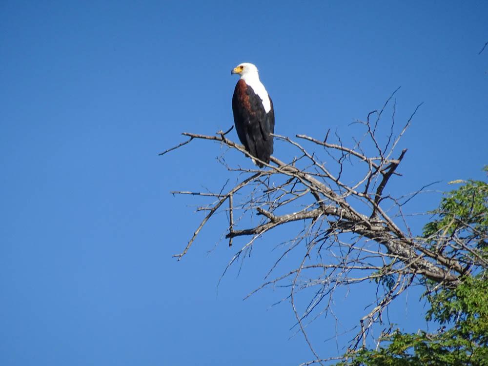 Picture of Fish Eagle on Safari