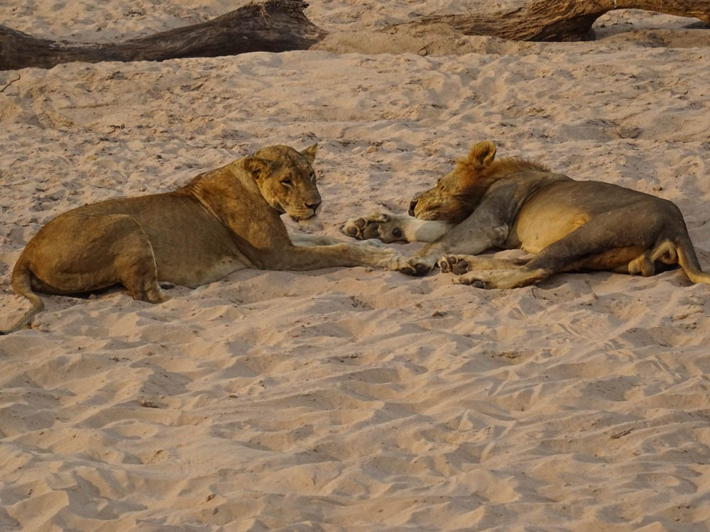 Picture of Lions in Zambia