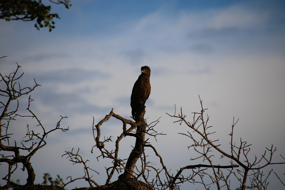 Picture of eagle in Kruger