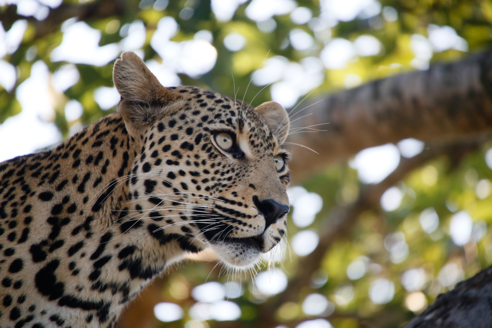 Picture of Leopard in Kruger