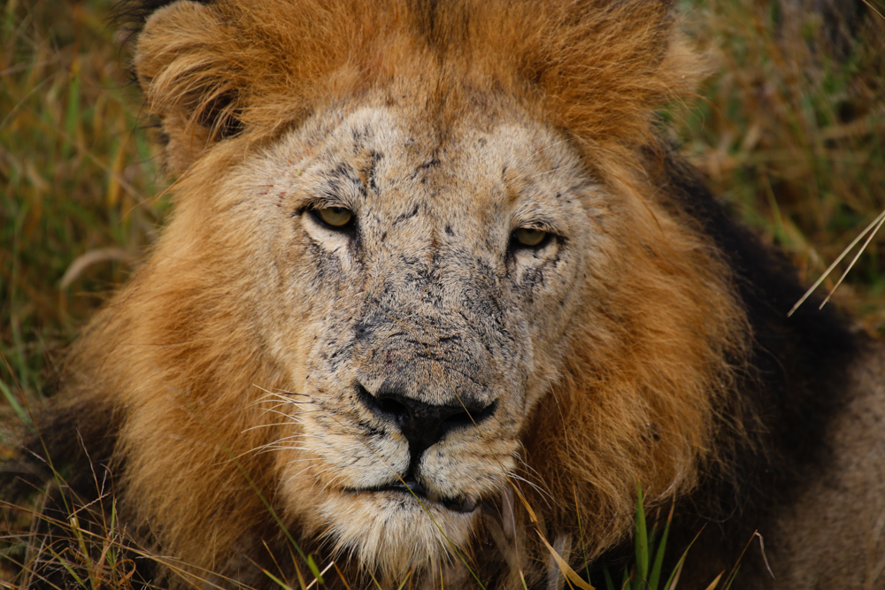 Picture of Lion Pride in Kruger