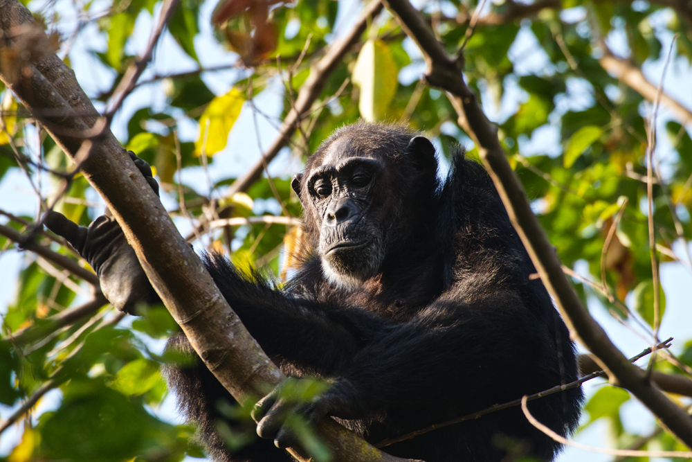Chimpanzee Mahale National Park