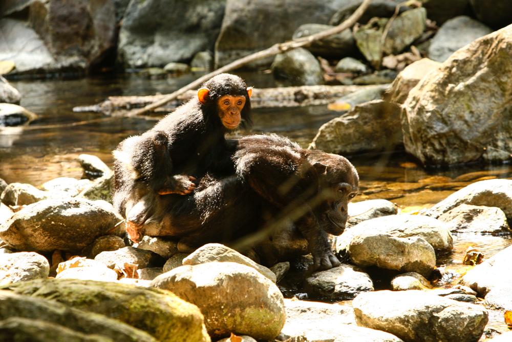 Primates Mahale National Park