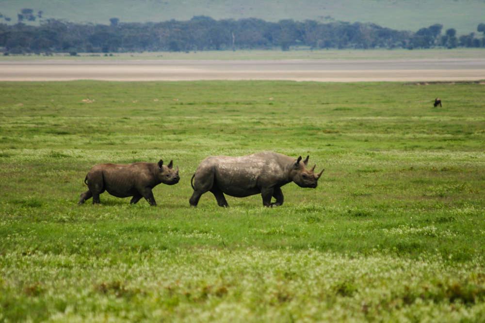 Black Rhino Ngorongoro Crater