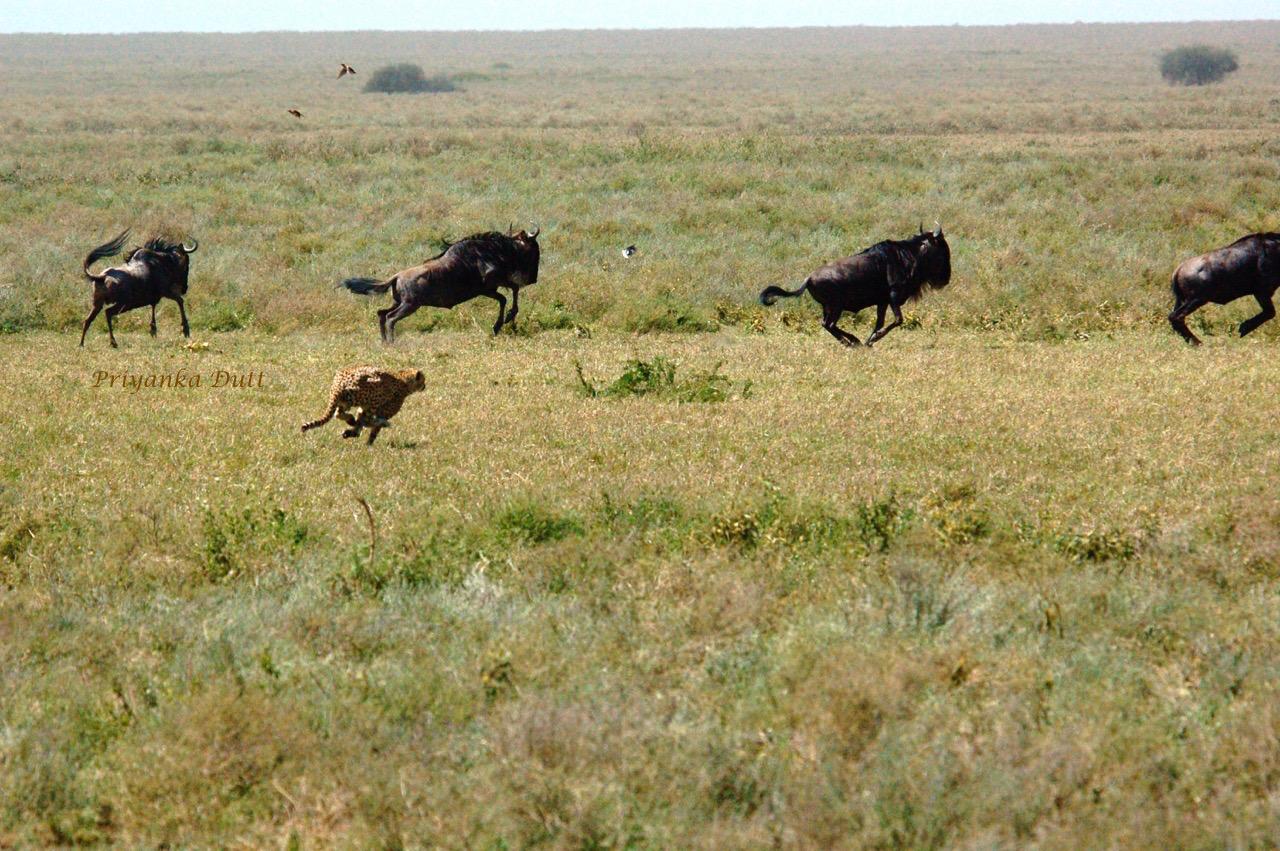 Cheetah Hunt Tanzania