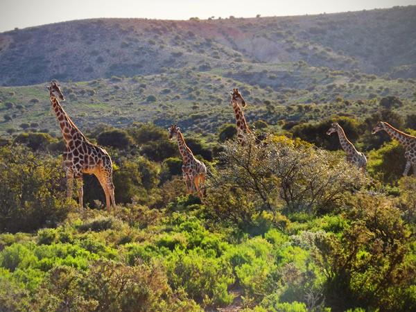 Touwsberg Nature Reserve safari