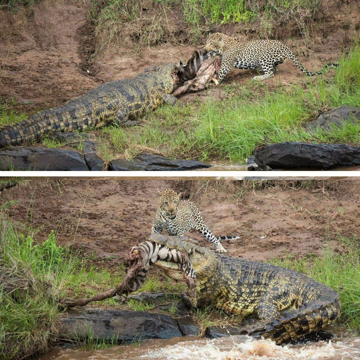 Leopard takes on two crocodiles