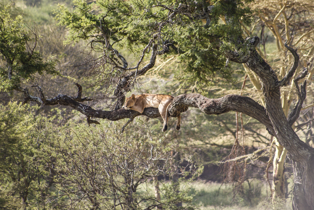 Serengeti Tree Climbing Lion
