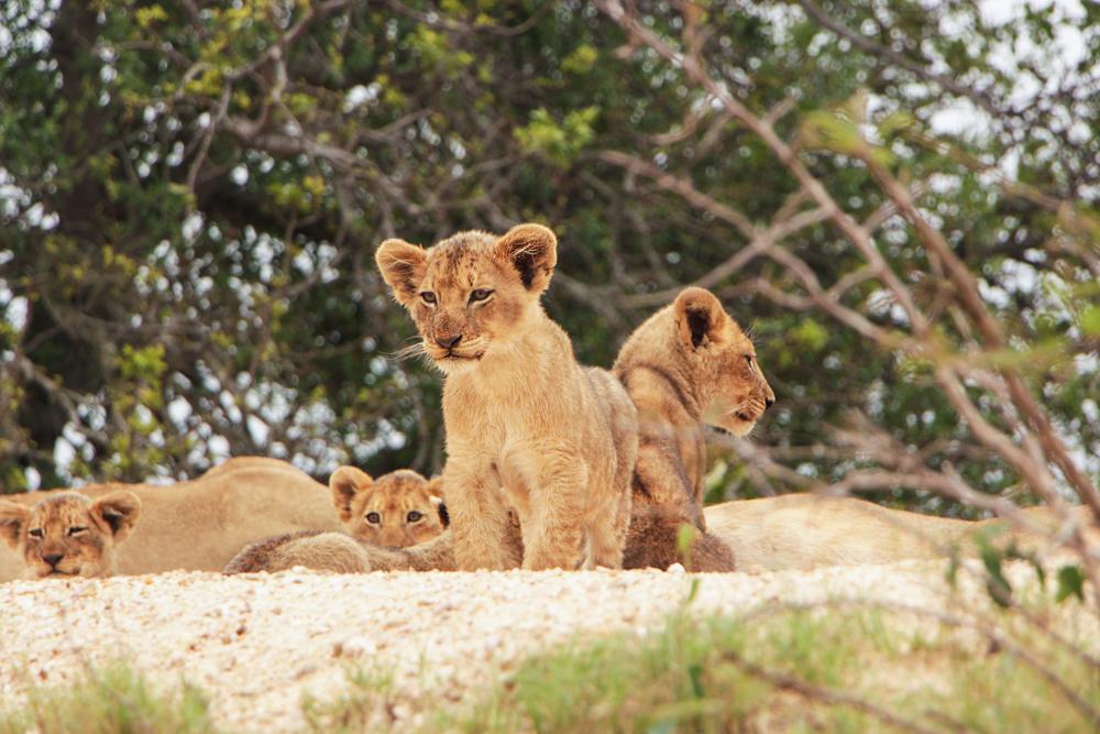 Lion King Safari Inspiration