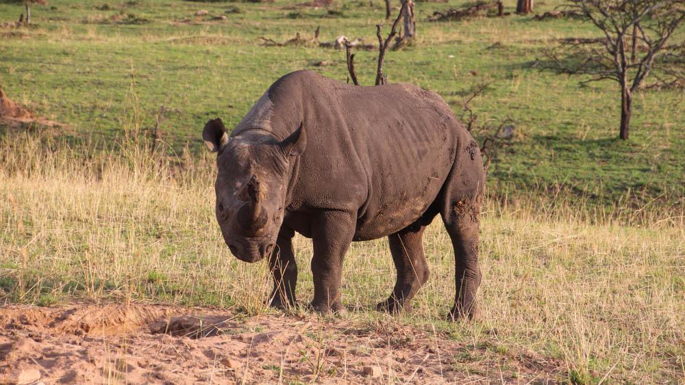 Serengeti National Park Rhino