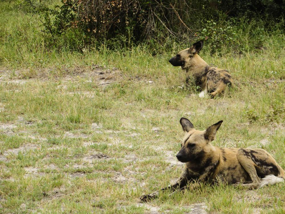 Botswana Safari Wild Dogs