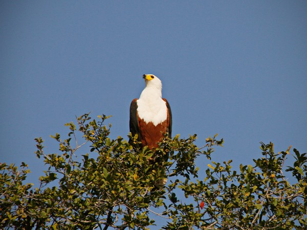 The cry of the fish eagle