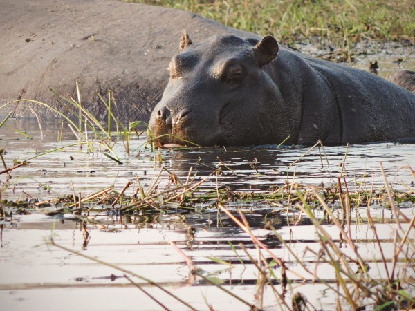Rivers full of hippo