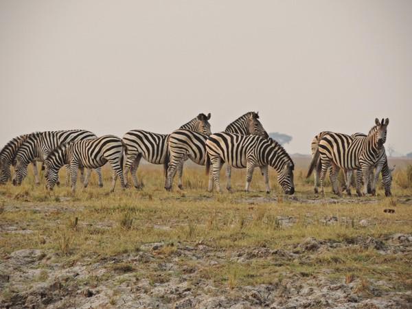 Migrating zebra