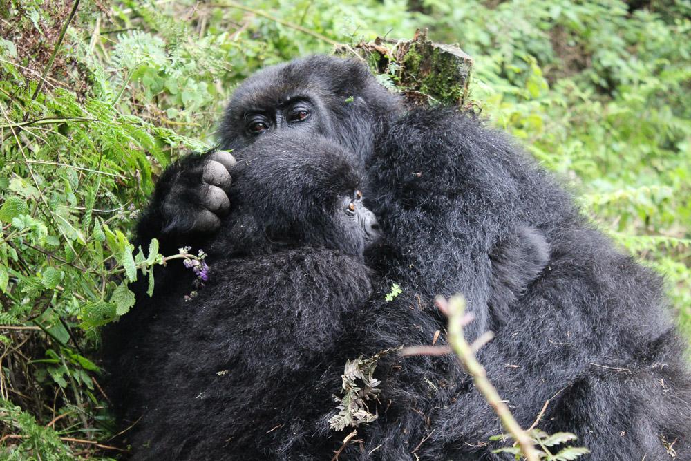 Gorilla Trekking and Conservation