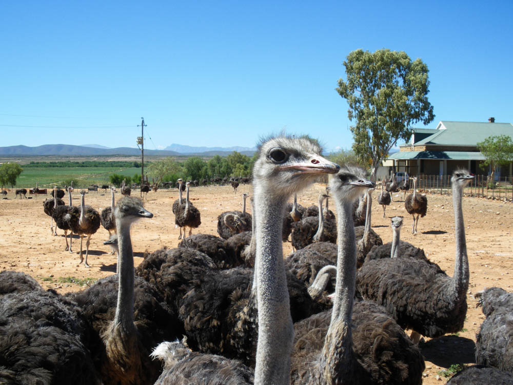Oudtshoorn Ostrich