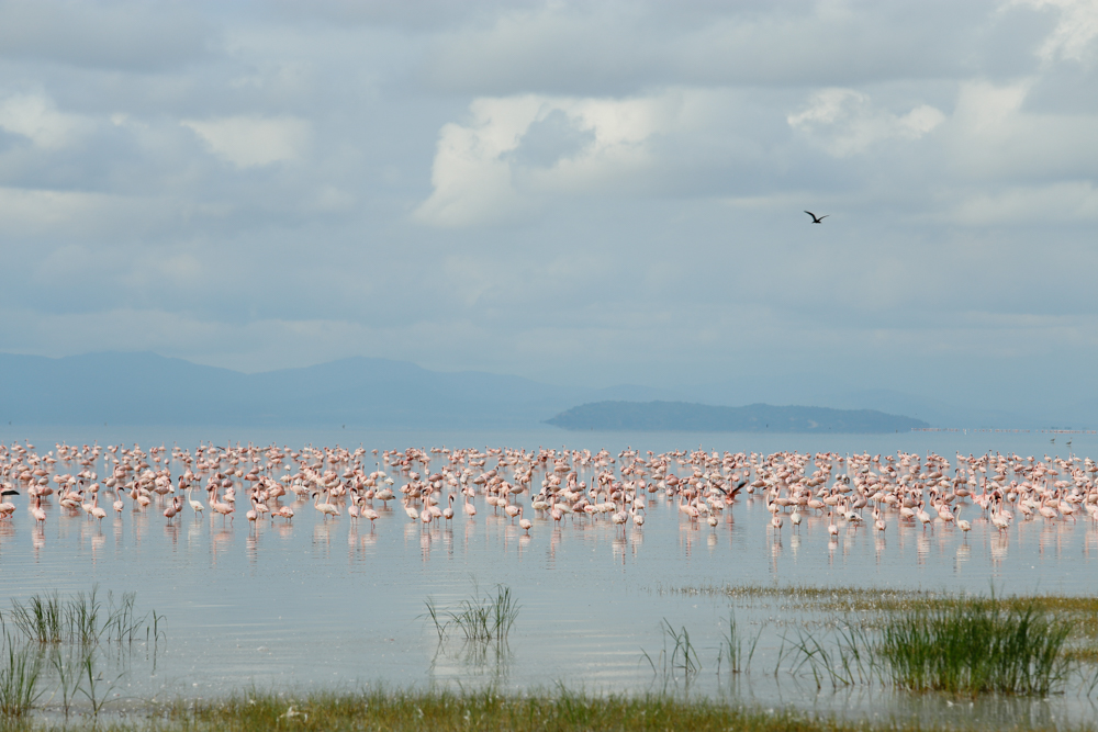 Flamingos at Lake Manyara
