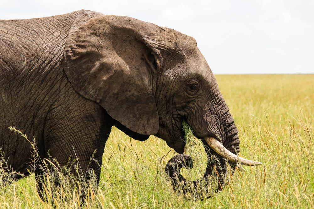 Picture of Elephant on Tanzanian safari