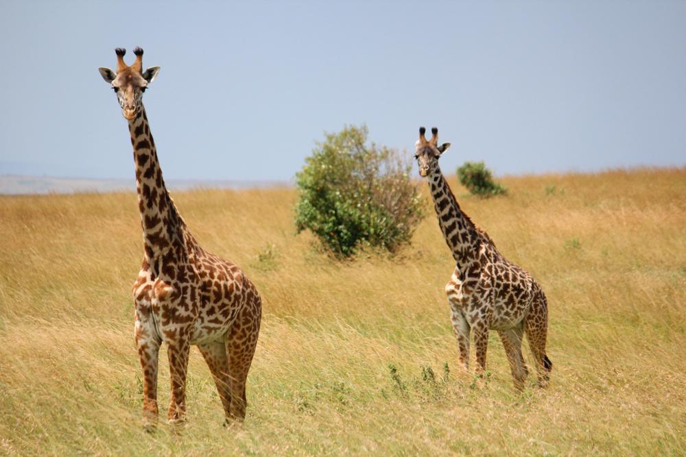 Serengeti Safari Giraffe